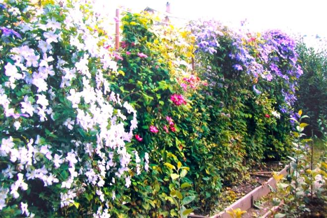 Живая изгородь из разноцветного клематиса