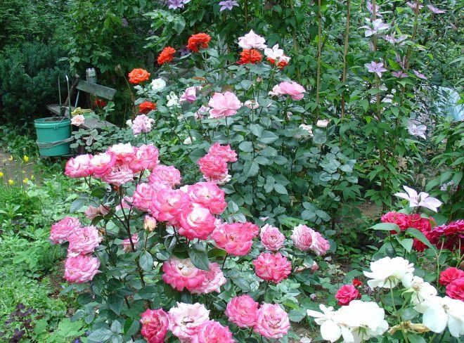 Розы различных сортов в миксбордере